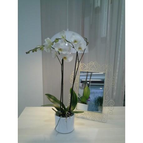 Phalanopsis blanca