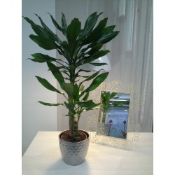Drácena. Planta de interior