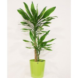 Dracena Massageana