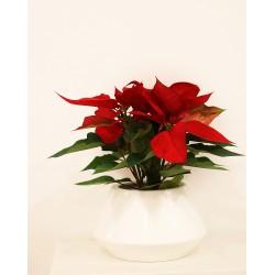 Poinsettia  roja